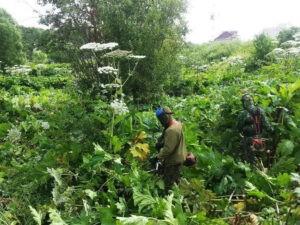 Опасное растение - борщевик
